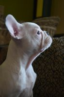 French Bulldog Stock by Mayli909