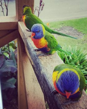Green Lorikeets by The-Singing-Fruit