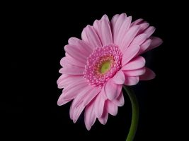 Pink on black by AngiWallace