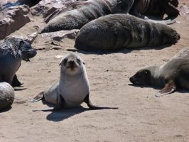 Baby seal by MaryThaCake