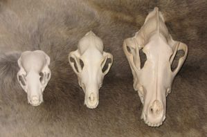 FORSALECoyote with Skull SOLD8 by lamelobo