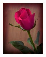 Roses are not always red..... by rosebud10