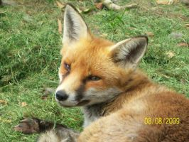 Red Fox Stock Image by CanterHalfPass