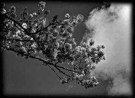 blossom time by awjay