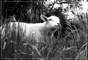 Lamb 01 by 0-Photocyte