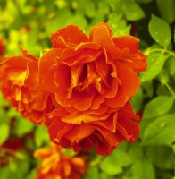 Summer sun roses 4 by GLO-HE