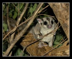 Sugar Glider by 2Stupid2Duck