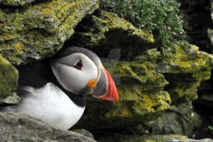 Puffin VI by luverozes