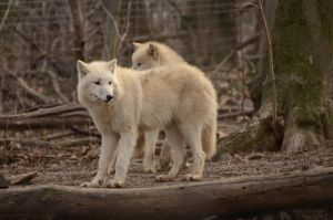 New White Wolves 16 by Lakela