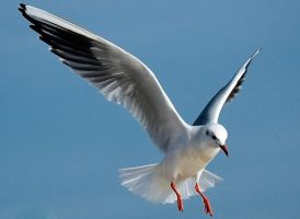 a seagull by Pepe09