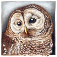 Barrred Owl portrait by Heliocyan