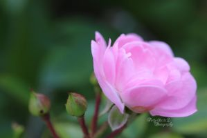 Pink Rose by FortySixand2Photos