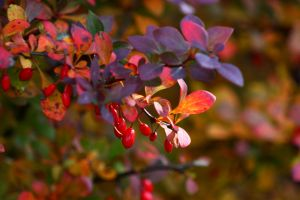 Berberis by Freya7
