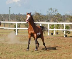 GE arab pinto canter stopping front on eyes closed by Chunga-Stock