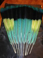 Great Blue Turaco Feathers by sdcavefish
