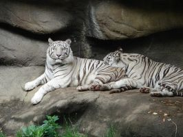 white tiger stock img by canine-rein