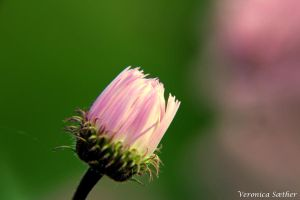 Pink flower by Veronicaa2