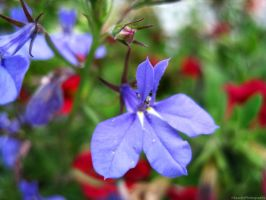 Blue Flower. by Sparkle-Photography