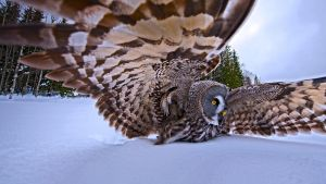 A Great Gray Owl On The Hunt by BalochDesign