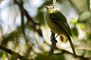 Yellow-olive Flycatcher by BrunoDidi