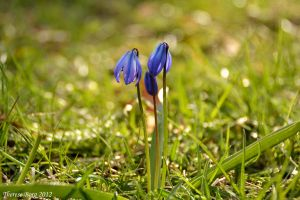 Scilla 7 by ThereseBorg