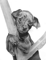 Madison is a 2 month old Dachshund Mix by Delarti
