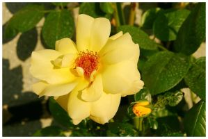 Yellow rose by cipriany