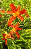 Tiger Lilies by BloodStainedSharpie