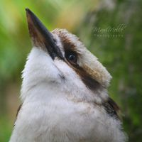 Laughing Kookaburra by MelissaBalkenohl