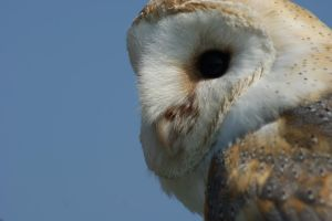 Barn Owl by AllAboutBirds