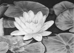 Water Lilly by DJPrior