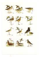 Antique birds print 7 by OMEGA86