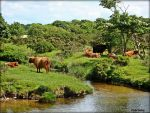 highland cattle scene by Estruda