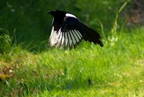 magpie flying stock by LubelleCreativeSpark
