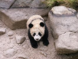 Giant panda by animalphotos