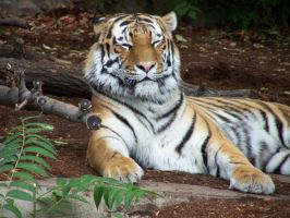 Tiger Stock- 1 by iconoclast-stock
