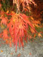 Japanese Maple by 212Stock