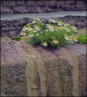 Harbour Wall Survivor by sags
