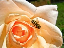 Bee on a rose by lalylaura