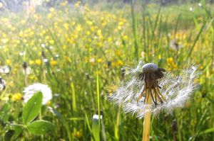 Dandelion... again. by namida23