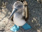 Galapagos : Blue-footed Booby by OnyxSerpent