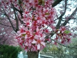 Cherry Blossoms by Laika-chan