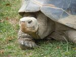 Galapagos Turtle 1015 by EchoingDroplet