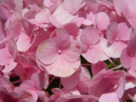 hortensia by Elricthecat