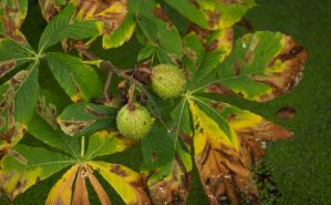 Chestnuts in Autumn Colours by Danimatie