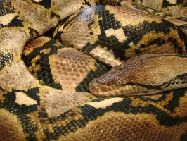 Reticulated Python by laura-worldwide