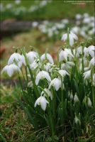Snowdrops in the Cemetery by Hitomii