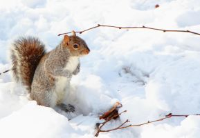 squirrel in the snow. by wdhyeaney