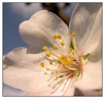 almond flower by strl