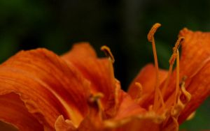 Day Lily Pollen Wallpaper by sappygolucky